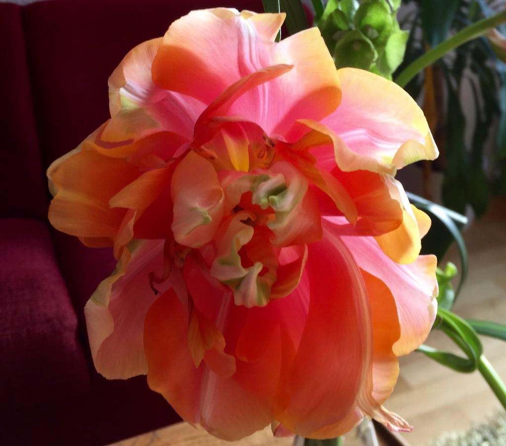 tulipanaros